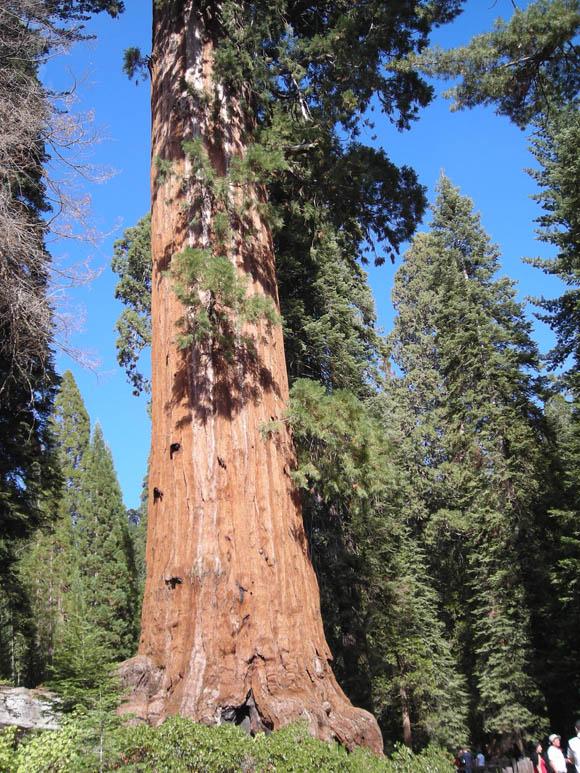 En Californie, forêt de séquoias